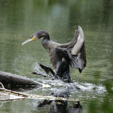 Cormoran grande (Cuervo de mar), invernando en el Rio Cuerpo de Hombre (Sierra de Francia-Spain). Saliendo del agua para secarse