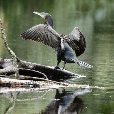 Cormoran grande (Cuervo de mar), invernando en el Rio Cuerpo de Hombre (Sierra de Francia-Spain). Debido a que su plumaje no es hidrofugo (waterproof), despues de pescar necesita secarse.