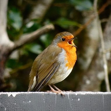 Happy Singing Robin in the Raymoir Garden Centre