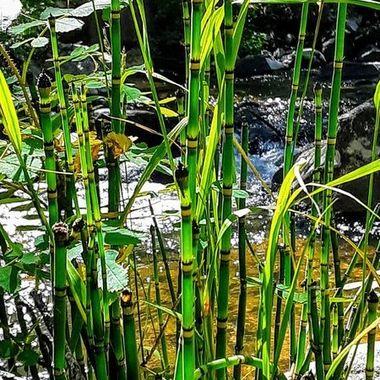 Snake grass