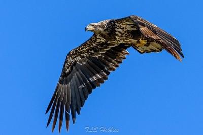 Young Bald Eagle 10-19