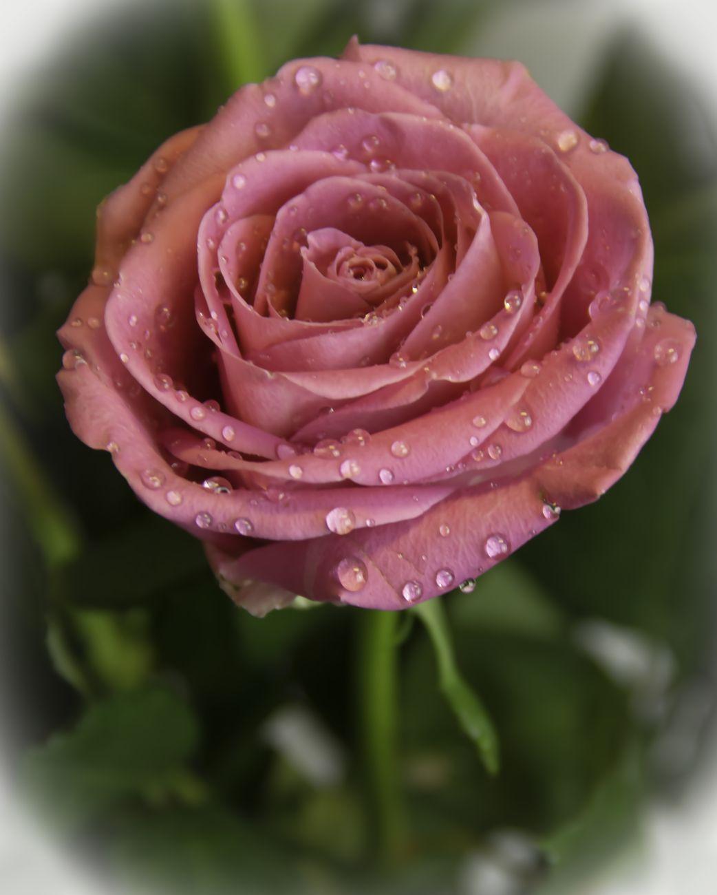 Pink rose droplets