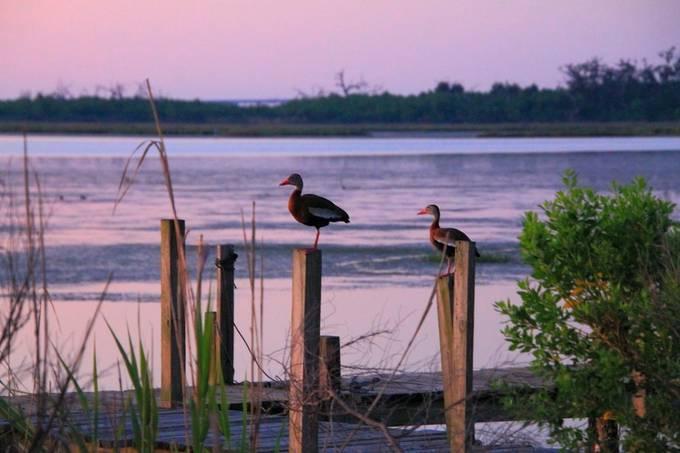Black-bellied Whistling Ducks at Sunrise