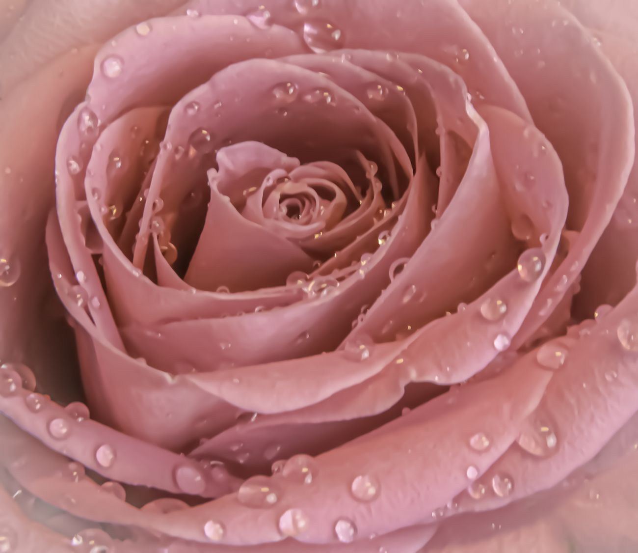 Pink rose droplets closeup