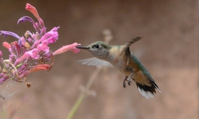 Nectar-Sipping