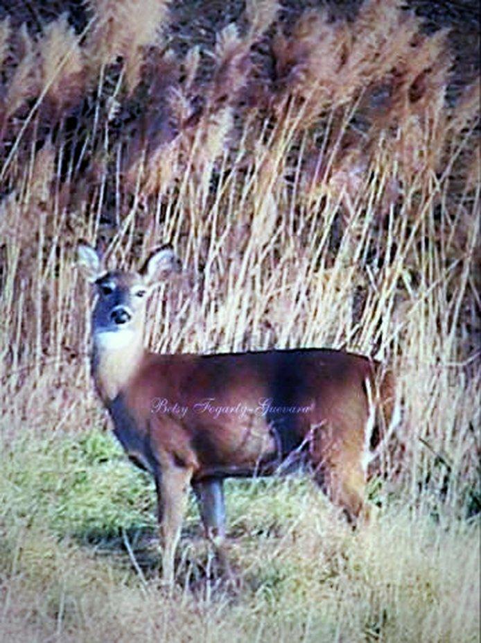 Deer~06-wm