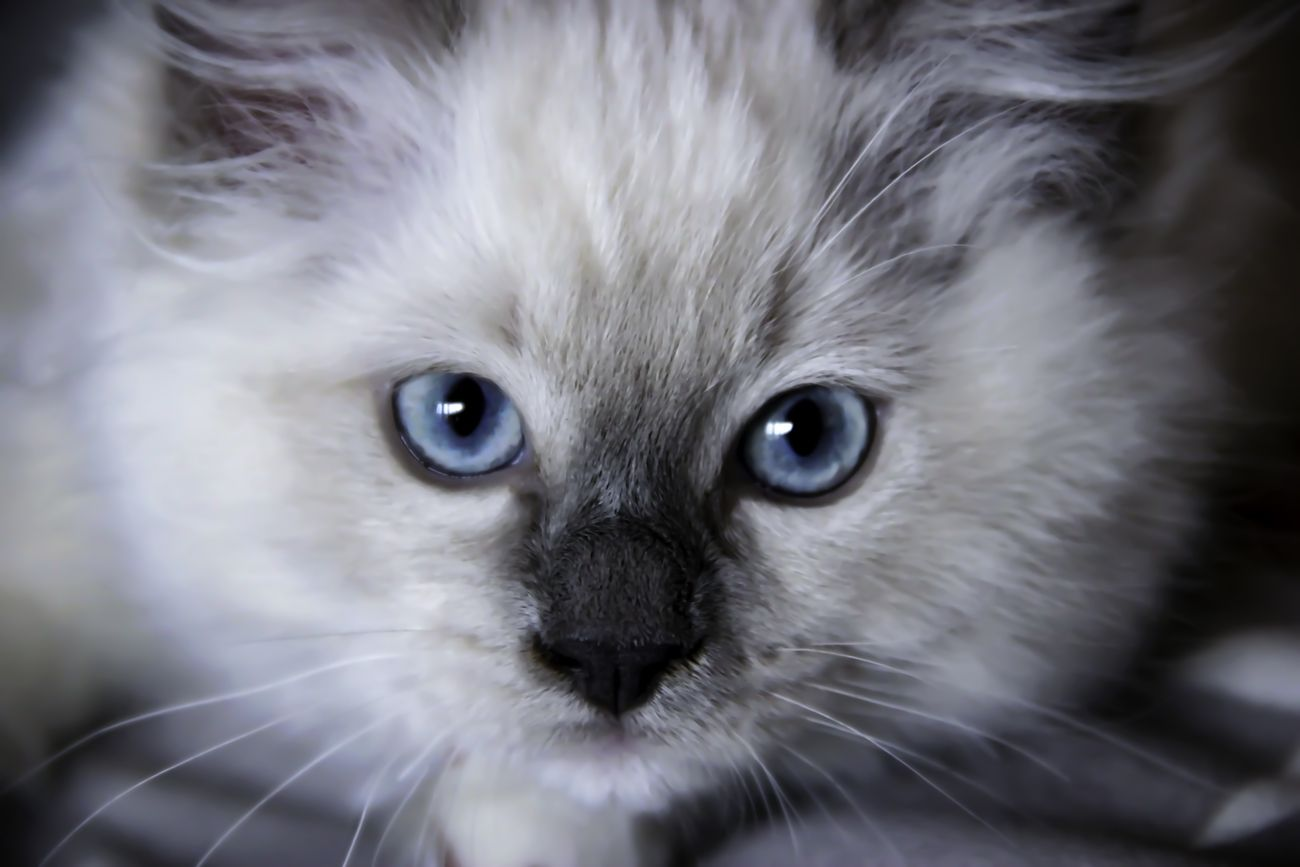 Chantalle ragdoll kitten