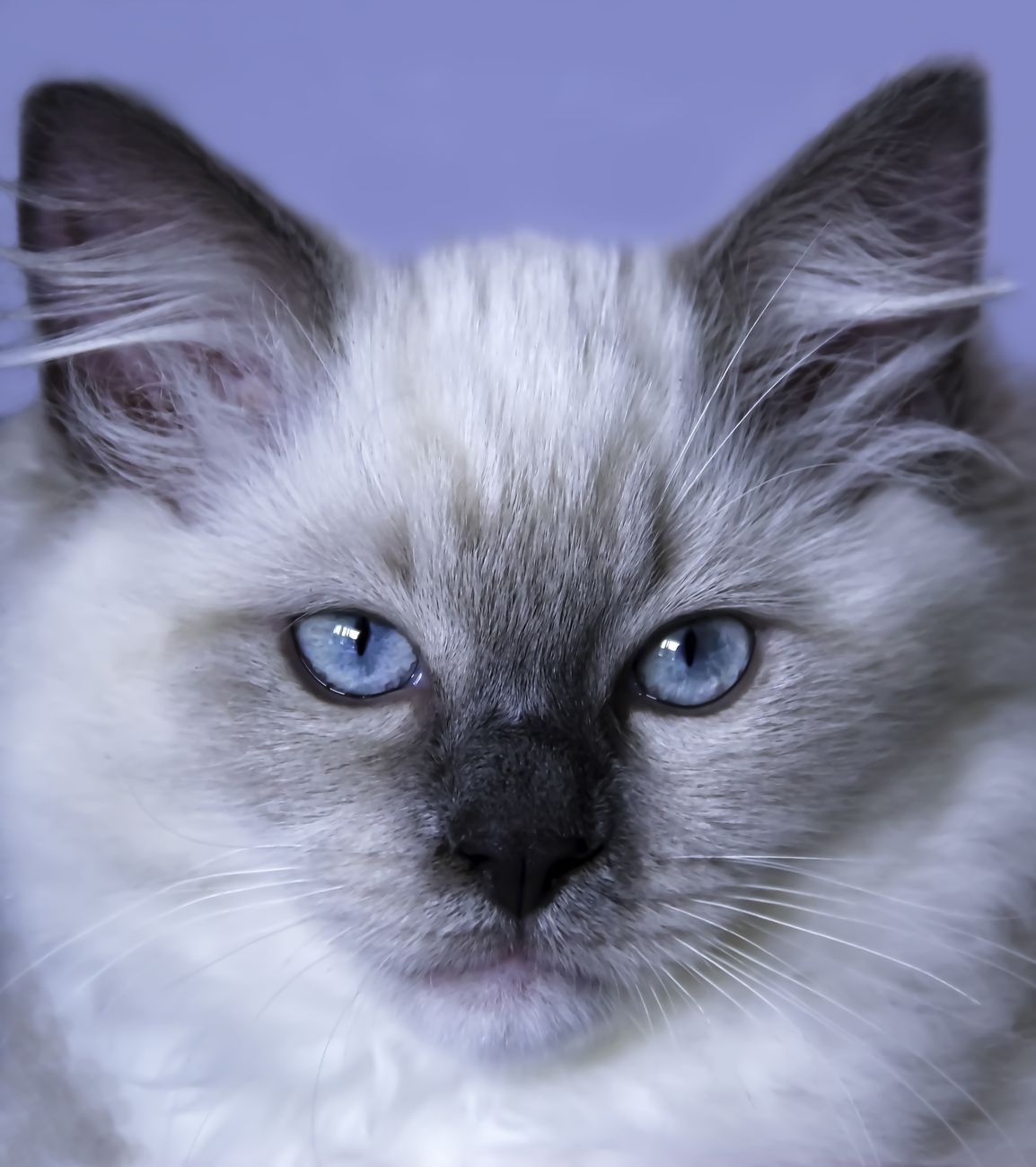 Ragdoll kitten face