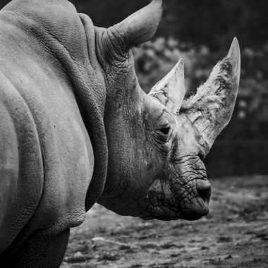 Captured this photograph of this mature bull African White rhino. Absolutely majestic animal  though captured this image in a zoo but It surely has motivated me to go see them in wild and posting this image here might inspire people and make them aware about these magnificent animals which are in grave danger because of poaching.