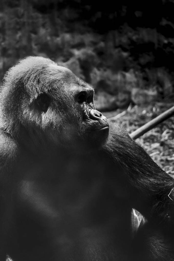This particular image captured from a recent visit to Toronto Zoo and watching these gorillas there gave a deep appreciation to how magnificent these animals are,
