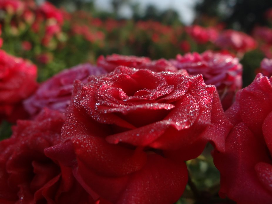 Rose full of Morning Dew drops