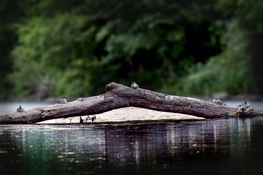 It's time to nap the birds on the tree trunk floating in the river.