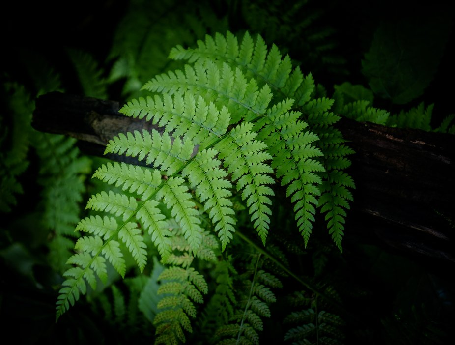 A forest fern along the Blue Ridge Parkway in North Carolina