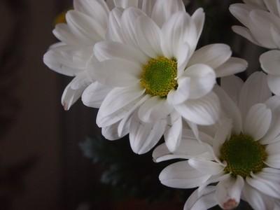 White Chrysanthemum Bush