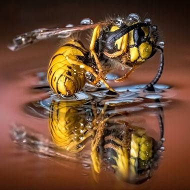 dance of the yellow jacket