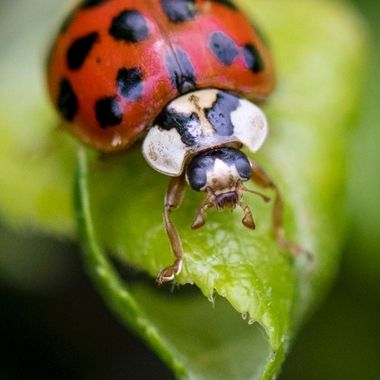 Lady Beetle on Leaf