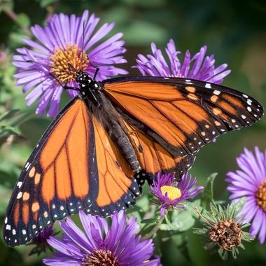 Monarch on Wildflowers