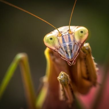 Mantis Eyes