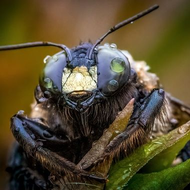 Dewy Carpenter Bee