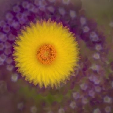 strawflower2