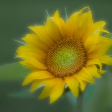Dewy sunflower