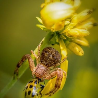 Crab Spider with Cucumber Beetle