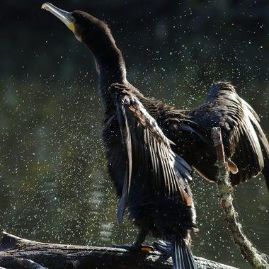 Cormoran grande sacudiendose el plumaje para secarse  Sierra de Francia-Spain