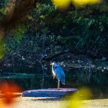 We found this Great Blue Heron standing on a rock in a large pond on the edge of the Potomac River taking in the sunset.