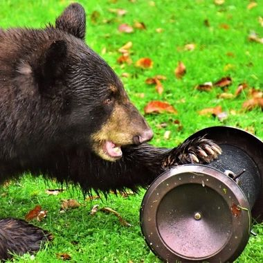 This young bear was hungry! he pulled the feeder off the shephard's hook and proceeded to empty it even with me taking photos a few yards away!