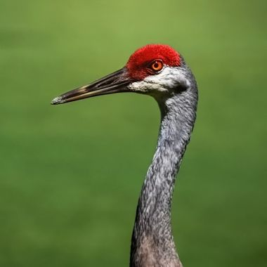 Profile of a Sand Hill Crane NW