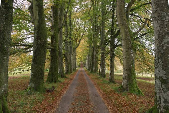 Beech lined avenue at Drummond Castle, Perrhshire.