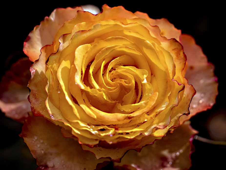 Macro shot of a tequila sunrise rose, always enjoy getting into the garden this time of year  and...