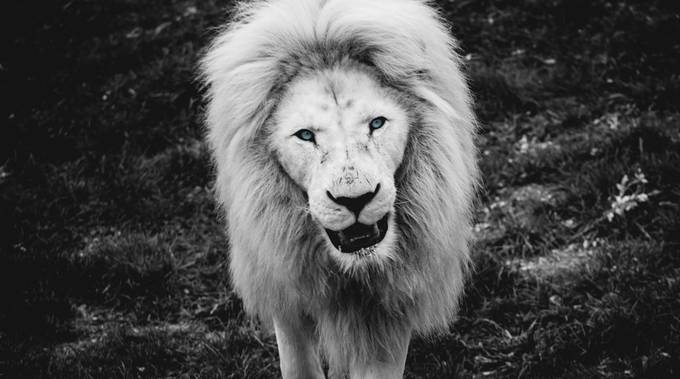 Another Black and White portrait of African lion. Captured this image of this beautiful lion just strolling around in its enclosure.