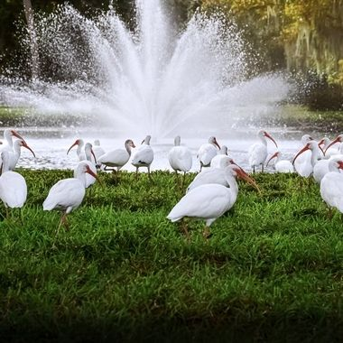 Flock of Ibis at the Pond NW