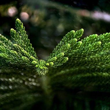 Norwegian Pine Bokeh NW