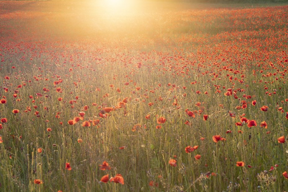 Sunset over a field of poppies.