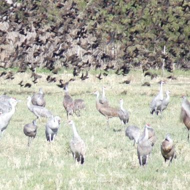 Sandhill Cranes and Red winged Black birds