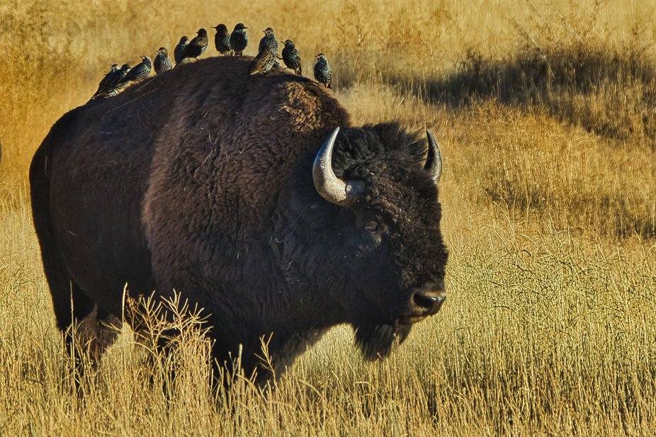 A small flock of European starlings hitching a ride on the back of an American Bison. See, Europe...
