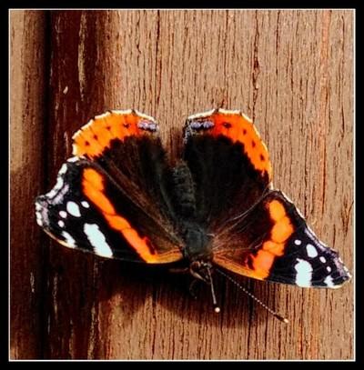 Summer butterfly in autumn_InPixioSummer butterfly in autumn