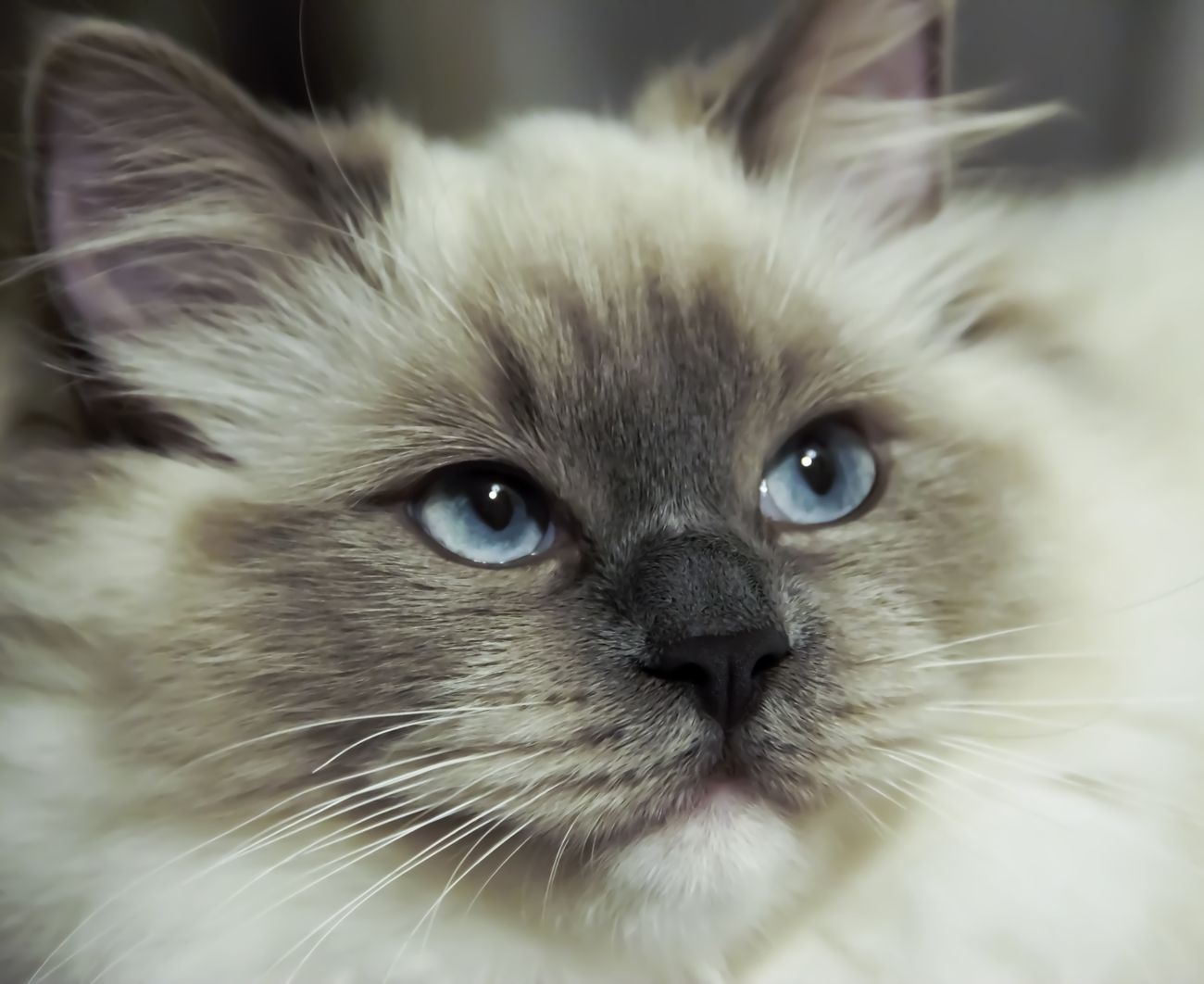 Chantalle ragdoll cat close up