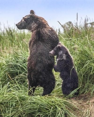 Watchful Grizzly Sow and Cub, Kuliak Bay, Katmai, AK