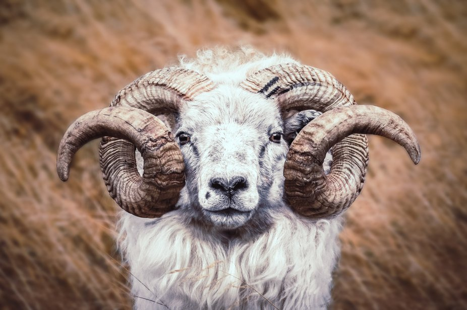 Face to face with an icelandic sheep!