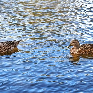 Two Female Ducks NW