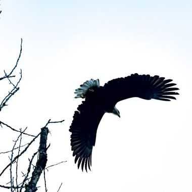 This magnificent bald eagle was leaving a tree when i got too close below