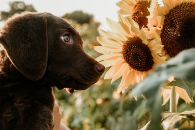 Puppies and Sunflowers