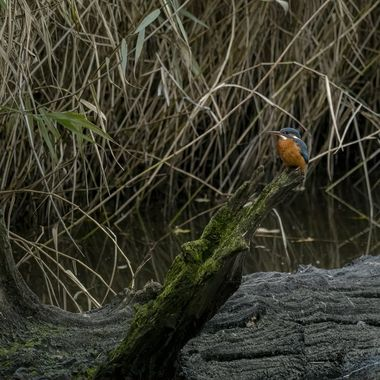 Kingfisher poised.