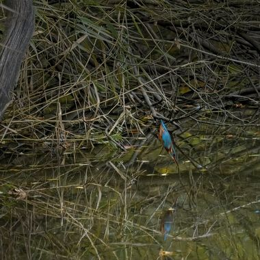 A Kingfisher reflected in the water and captured just before entering the water,