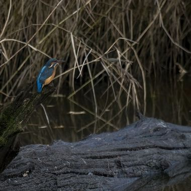 Kingfisher poised ready to dive at any moment.