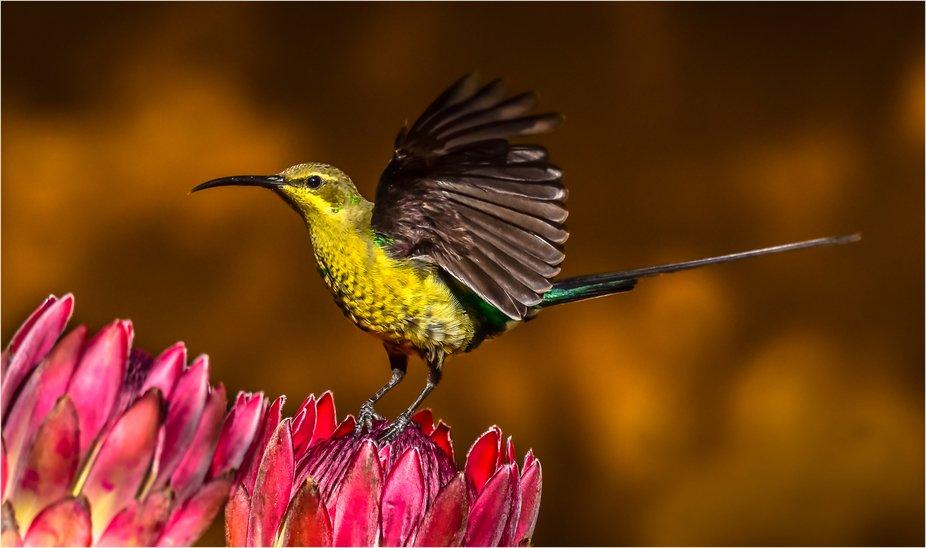 AFO 11 Mrt Non-breeding Malachite Sunbird 34