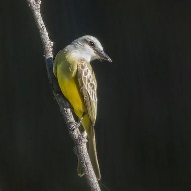 Tropical Kingbird DSC07711